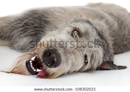Irish Wolfhound resting on a white background. Close-up portrait