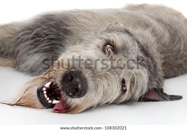 Irish Wolfhound resting on a white background. Close-up portrait