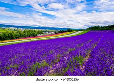 Irodori Field is beautiful Rainbow colors of flower field including purple lavender,white baby's breath, red poppy,pink garden catchfly,orange California poppy at Tomita farm, Furano, Hokkaido, Japan.