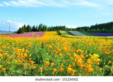 Irodori field, Tomita farm, Furano, Japan. It is the famous and beautiful flower fields in Hokkaido.