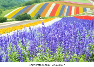 Irodori field, Tomita farm, Furano, Japan. It is the famous and beautiful flower fields in Hokkaido JAPAN