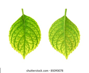 Iron deficiency of Hydrangea macrophylla leaf - chlorosis