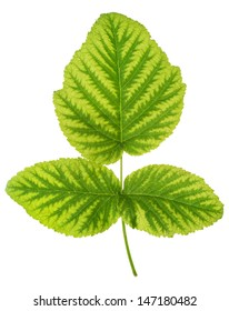 Iron deficiency in raspberry leaf, chlorosis, isolated