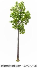 Iron wood tree is deciduous isolated on white background (Pyinkado),tree isolated