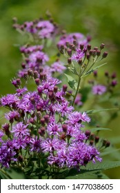 Ironweed flower, one of many Vernonia species.  US wildflower.