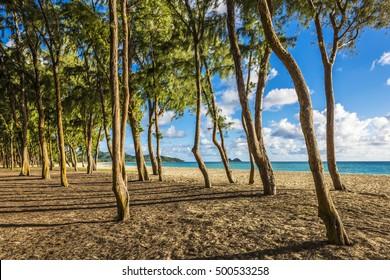 Ironwood trees lining up Waimanalo beach in Oahu Island, Hawaii, USA