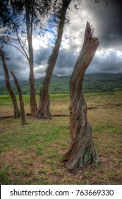 Ironwood Trees in a pasture in Hawaii