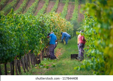 IRPINIA - OCTOBER 7: Farmers picking grapes during harvest at a vineyard on October 7, 2012 in Irpinia, Italy. The Campania region boasts over 100 different grape varieties and several DOC wines.