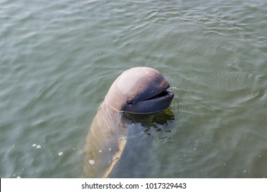 Irrawaddy dolphin are cute fish it habit which Not aggressive therefore Children like