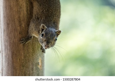 An Irrawaddy squirrel or hoary-bellied Himalayan squirrel (Callosciurus pygerythrus) stares at the camera while upside down on the trunk of a tree.