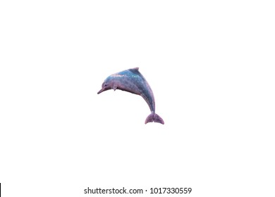 IrrawaddyIndo-Pacific hump-backed dolphin dolphin  with isolated white background