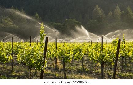 Irrigating Zinfandel grapes, Mendocino County, California
