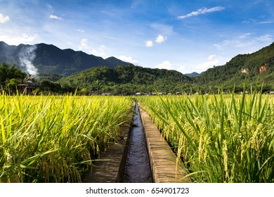 An irrigation channel fades into the distance surrounded by golden rice fields and the hills of Northern Vietnam