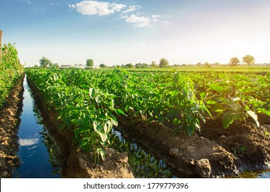Irrigation and growing young pepper in the field. Watering of agricultural crops. Farming and agriculture.