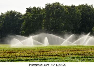 irrigation of market gardening plants
