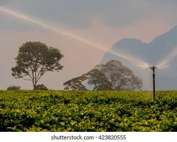 irrigation of a plantation of tea