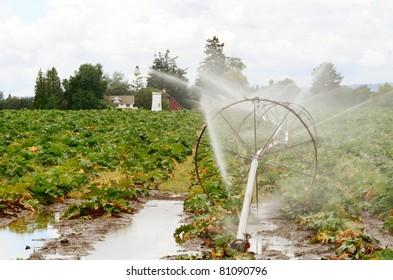 Irrigation in a Rhubarb field in Oregon's Willamette Valley