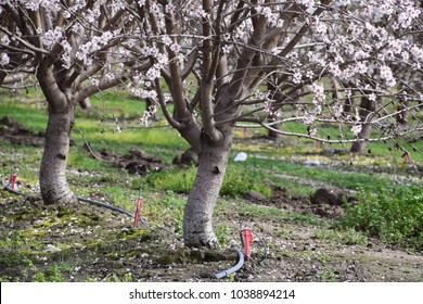 Irrigation system on almond trees, Bakersfield, CA.