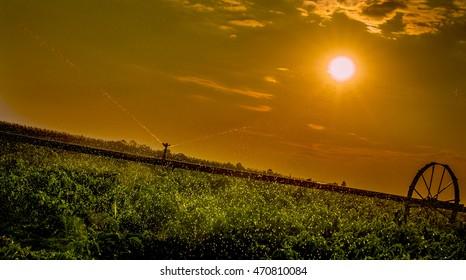 Irrigation system on field. Paprika
