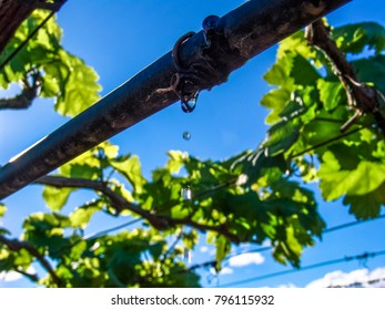 irrigation system in a vineyard with green grapes
