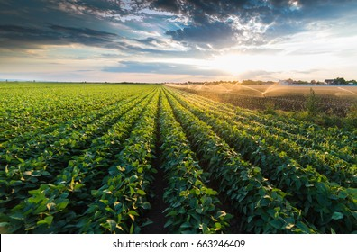 Irrigation system watering a crop of soy beans at field