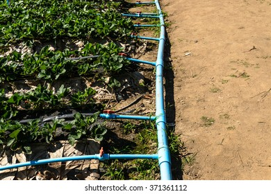 Irrigation systems for strawberry garden farming in northern thailand