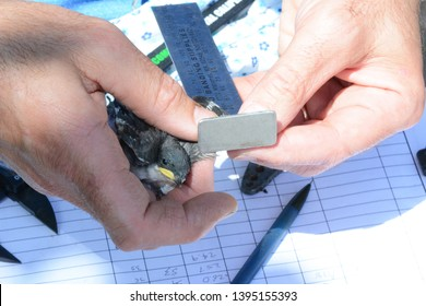 IRVINE, CALIFORNIA - MAY 10, 2019: Audubon volunteer Measures a wing on a Tree Swallow chick as part of the banding procedure at the San Joaquin Wildlife Sanctuary.