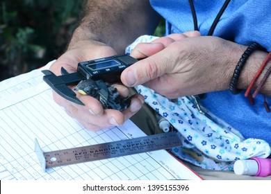 IRVINE, CALIFORNIA - MAY 10, 2019: Audubon volunteer uses a micrometer to measure a Tree Swallow (Tachycineta bicolor) chick at the San Joaquin Wildlife Sanctuary.