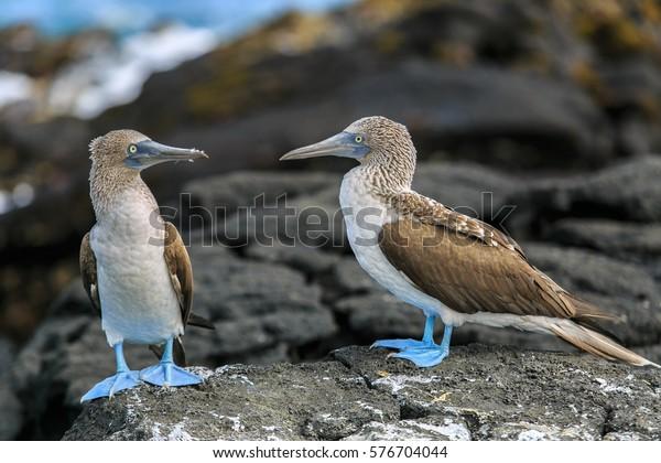 Isabela Island, Galapagos, ECUADOR - February 14, 2014; Blue-footed boobies sitting on volcanic rocks near Puerto Villamil, Isabela Island, Galapagos, Ecuador on February 14, 2014