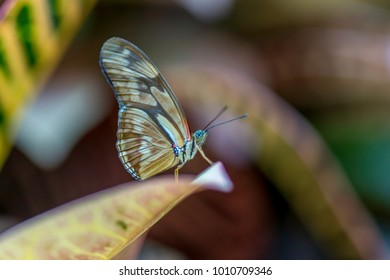The Isabella butterfly is found in Brazil and north to the West Indies and Mexico.