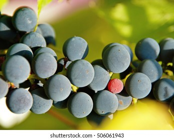 Isabella grapes