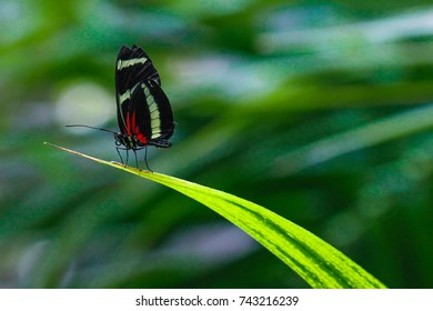 Isabella long wing butterfly on leave