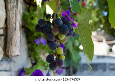 Isabella wine grape, garden decoration