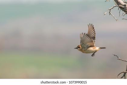 Isabelline Wheatear bird