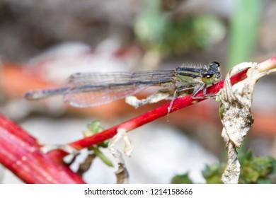 Ischnura sp damselfly posed on a red twig