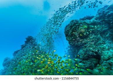 Ishigaki Island Diving - Horde of young fish