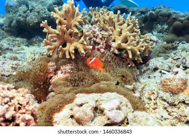Ishigaki Island Diving-Anemone fish held in an anemone and dascyllus
