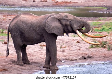 Isilo the big TuskerTembe Elephant Park, South Africa