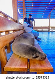 Isla Baltra, Ecuador - August 24 2013: A Galapagos sea lion makes itself comfortable on a bench at the ferry pier, unconcerned by the people around it.