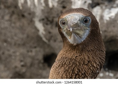 ISLA LOBOS, GALAPAGOS -OCT 23,2018 : a booby with intense and curious eyes looks towards the tourists who photograph him at Lobos Island, near San Cristobal, Galapagos, on October 23rd 2018.