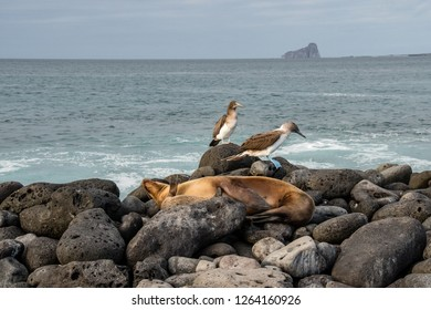 ISLA LOBOS, GALAPAGOS -OCT 23,2018 : blue footed boobies and sea lions share spaces on the cliffs of Lobos Island, near San Cristobal, Galapagos, on October 23, 2018.