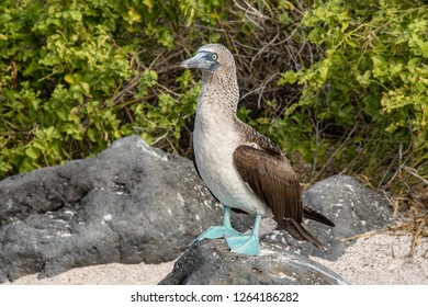 ISLA LOBOS, GALAPAGOS -OCT 23,2018 : a blue footed booby stands on a stone near his egg on a small beach of Lobos Island, near San Cristobal, Galapagos, on October 23, 2018.