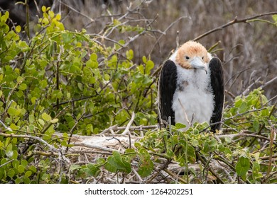 ISLA LOBOS, GALAPAGOS -OCT 23,2018 : a frigate chick protects itself from the wind by collecting its head among the feathers in Lobos Island, near San Cristobal, Galapagos, on October 23, 2018.