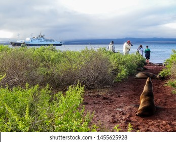 Isla Rabida, Ecuador - August 25 2013: Galapagos sea lions are basking on a trail that leads to the interior. Hikers have to edge around them.