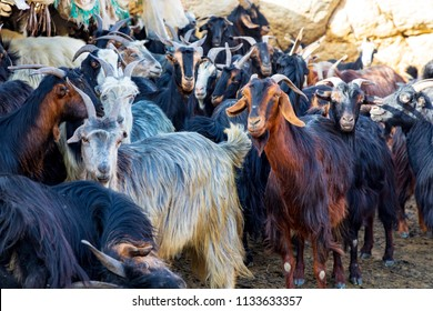 Islamic Republic of Iran. A small group of goats.