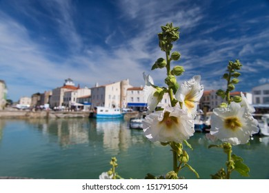 Island Ile de Re - White hollyhocks in harbor of Saint Martin de Re