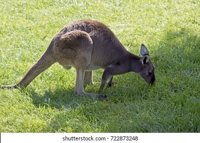 Island kangaroo is in the middle of a paddock eating grass
