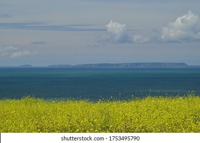 Isle Of Sark, U.K. Telephoto image of neighbouring Channel Islands shot from Jersey, with Summer yellow Charlock weed wildflowers.