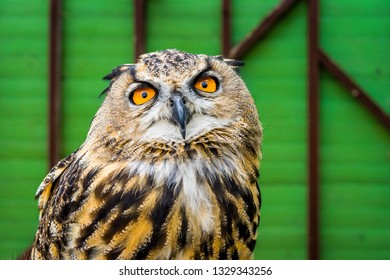 Isle of Wight, Newport, United Kingdom - August 28, 2018: Magnificent owl in Monkey Haven, a popular place to visit, a sanctuary for monkeys, birds and reptiles on the Isle of Wight.