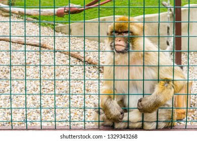 Isle of Wight, Newport, United Kingdom - August 28, 2018: Monkey in Monkey Haven, a popular place to visit, a sanctuary for monkeys, birds and reptiles on the Isle of Wight.
